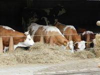 6185923-An_old_race_of_cows_Stuttgart.jpg
