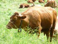 6494874-Cows_and_Cowbells.jpg