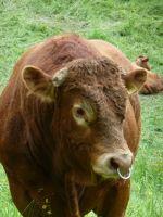 6494876-Cows_and_Cowbells.jpg