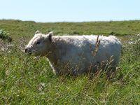 6789487-Cute_Cows_Helgoland.jpg