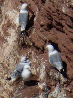 6791529-Bird_Rock_2_Seagulls_Helgoland.jpg
