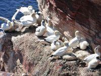 6791540-Bird_Rock_3_The_Colony_Helgoland.jpg