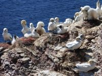 6791541-Bird_Rock_3_The_Colony_Helgoland.jpg