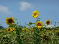 845845764881049-A_sunflower_..issembourg.jpg