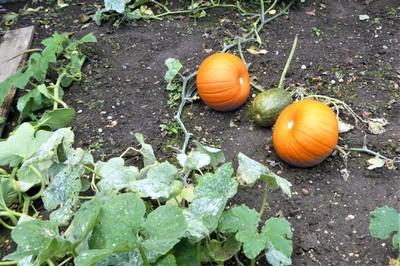 Beningbrough Hall and Gardens - Pumpkins