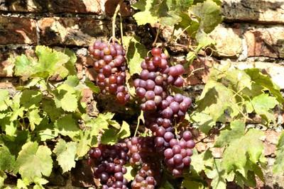 Beningbrough Hall and Gardens - Grapes