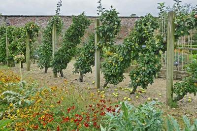 Espaliered apples in the Helmsley Walled Garden
