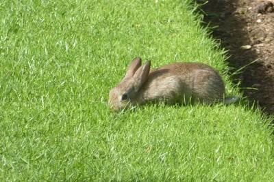 Castle Howard, rabbit in the Walled Garden