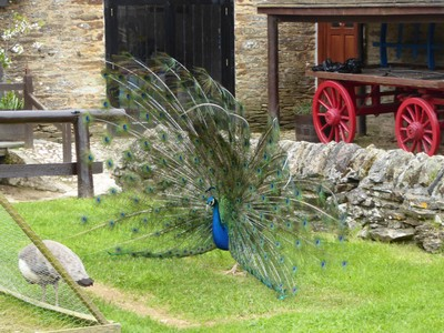 Peacock at Healey's Cornish Cyder Farm
