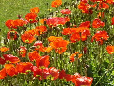 Jardin des Plantes - Poppies