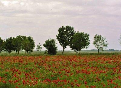 Poppy fields in the Somme region