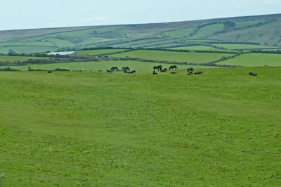 Exmoor Ponies from the A39 through Exmoor National Park