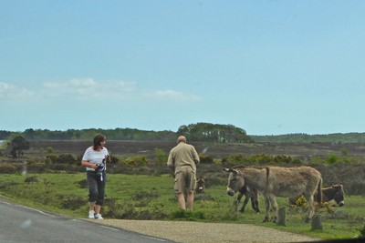 Tourists meeting donkeys in the New Forest