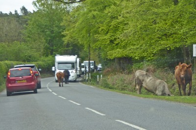 The New Forest -- traffic stopped for cows on the road