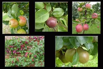 September fruit in the Helmsley Walled Garden