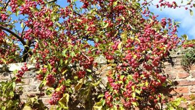 Beningbrough Hall and Gardens - Siberian crab apples
