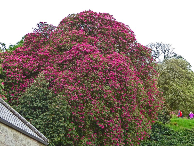 A very large Rhododendron tree at Lanhydrock House