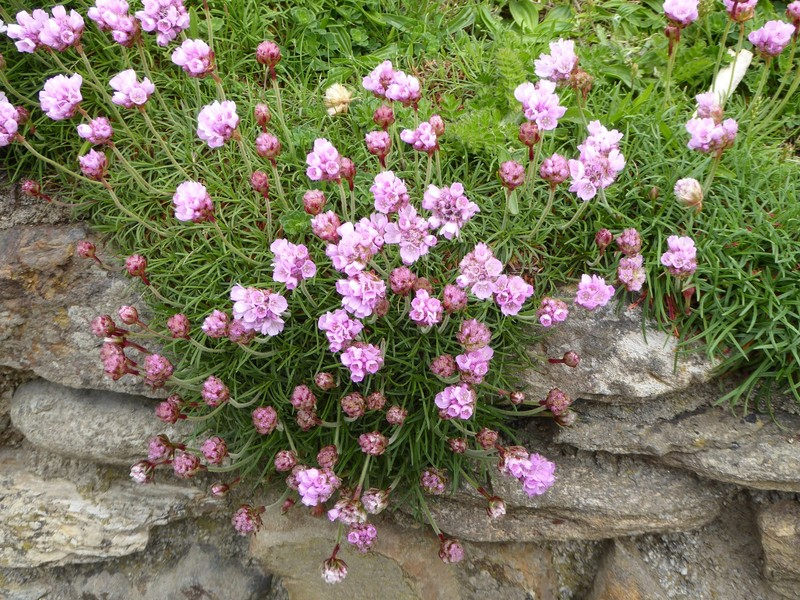 Thrift, a lovely pink flower blooming along the trails at Chapel Porth.