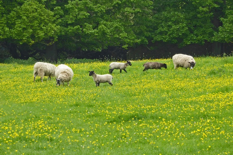 Sheep in front of Montacute House