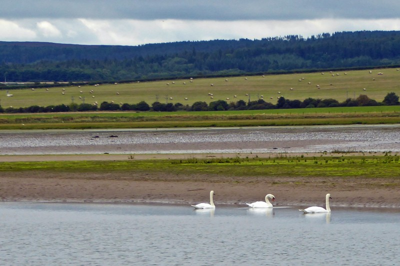 Swans swimming at low tide beside the Lindisfarne Causeway