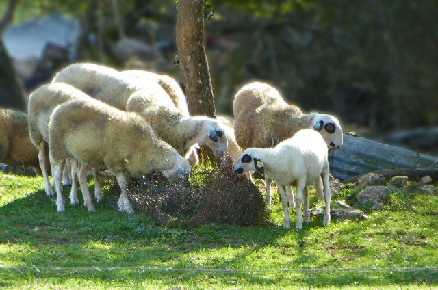 Our backyard sheep