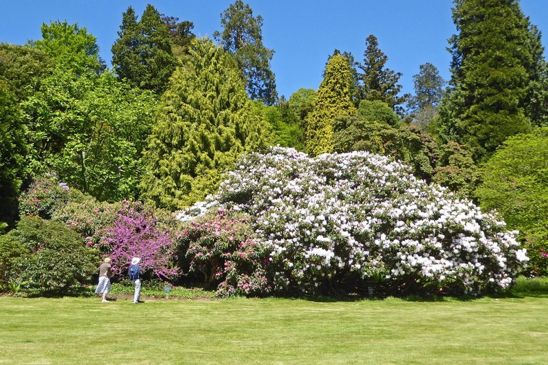 Rhododendrons in the Killerton House Gardens