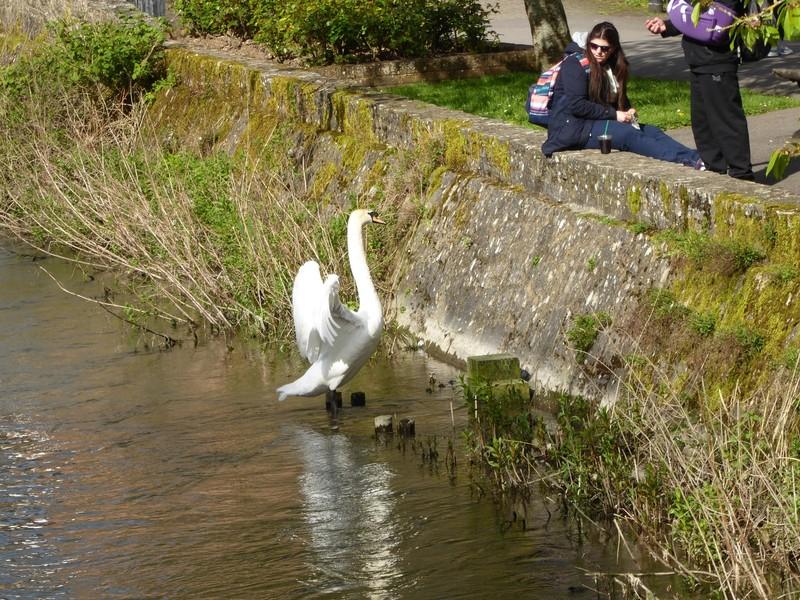 Swan begging near the Crane Street bridge over the river Avon