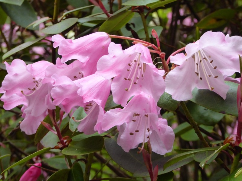 Rhododendrons in Lanhydrock House Gardens
