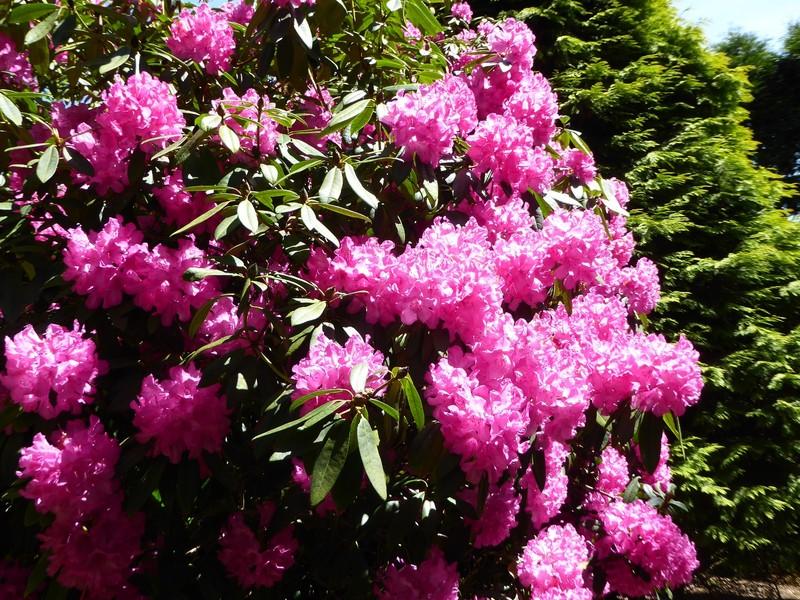Rhododendrens at Killerton House Gardens