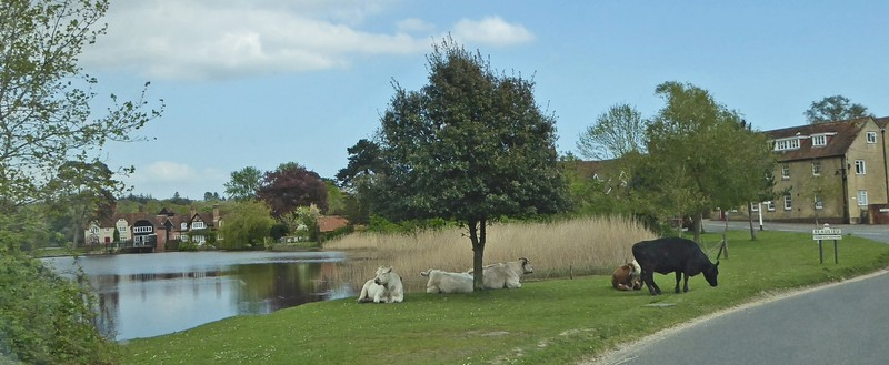 Cows resting on the verge near Beaulieu
