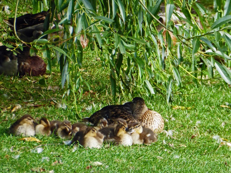 Ducks at Riverside Mews on the Cod Beck in Thirsk