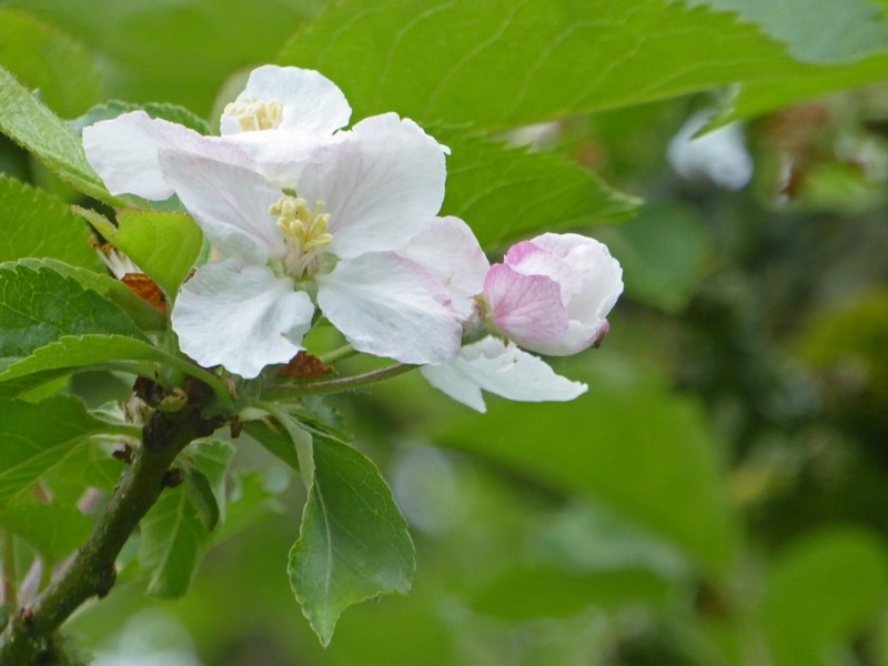 Apple Blossom at Lacock Abbey