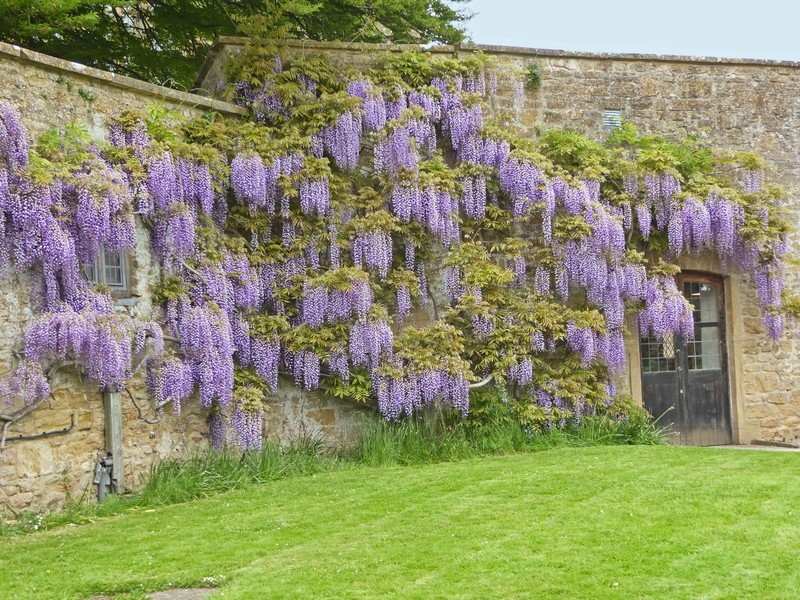 Wisteria at Montacute House