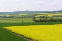 Canola fields in Burgundy near Beaune
