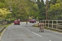 Donkeys stopping traffic in the New Forest