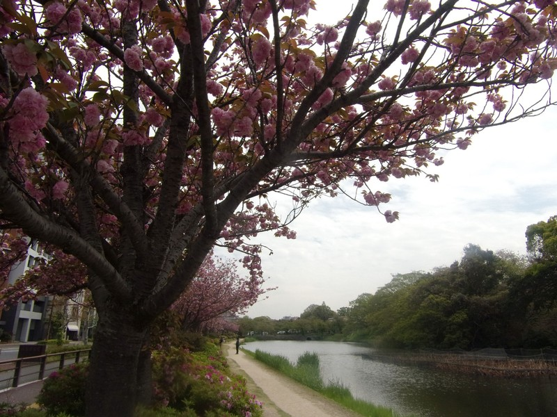 Plum trees by the moat.