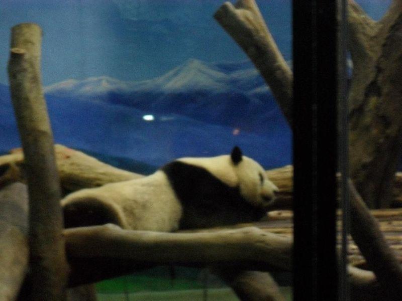 large_4755298-Giant_Panda_Taipei.jpg