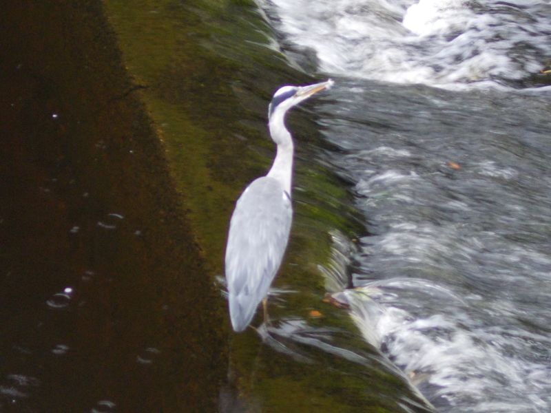 Is it an egret or a cormorant?  - Stirling