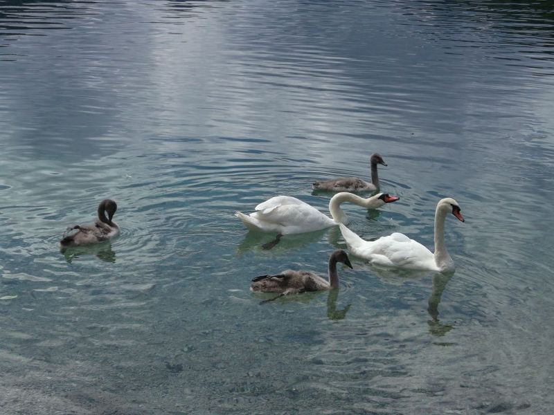 Swans on the Alpsee. - Fussen