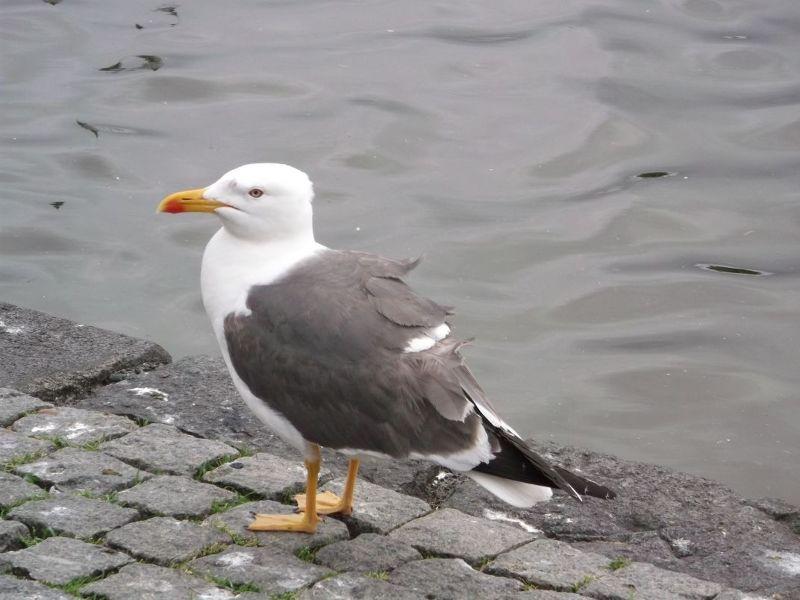 Hungry seagull. - Reykjavík