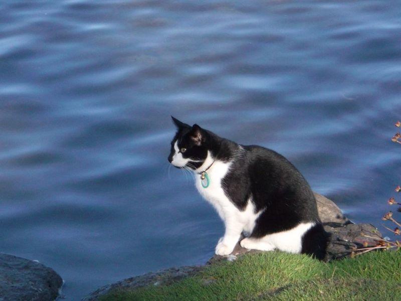 This cat had its eye on the ducks. - Reykjavík