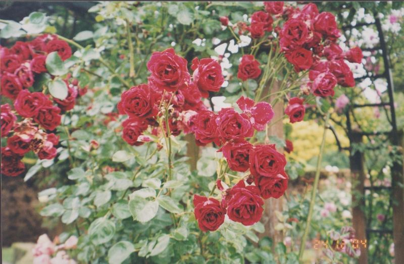 large_6763552-Sensational_roses_New_Zealand.jpg