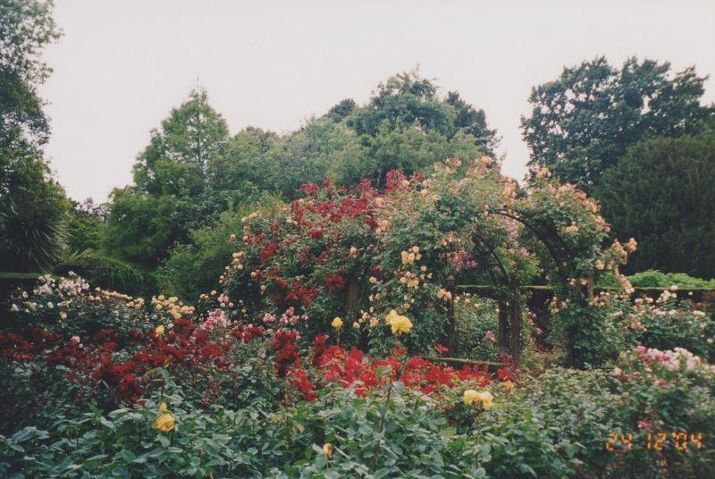 large_6763555-More_roses_New_Zealand.jpg