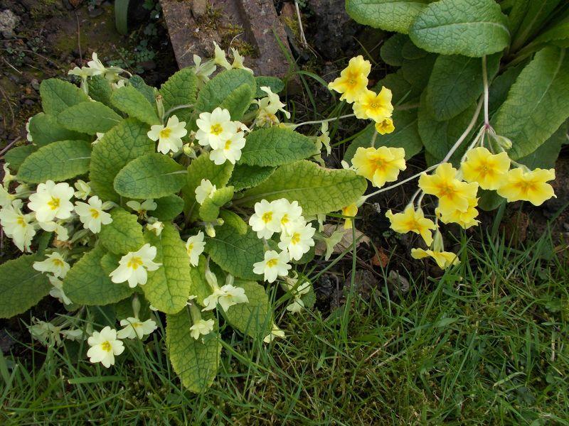 large_7039221-Springtime_Primroses.jpg
