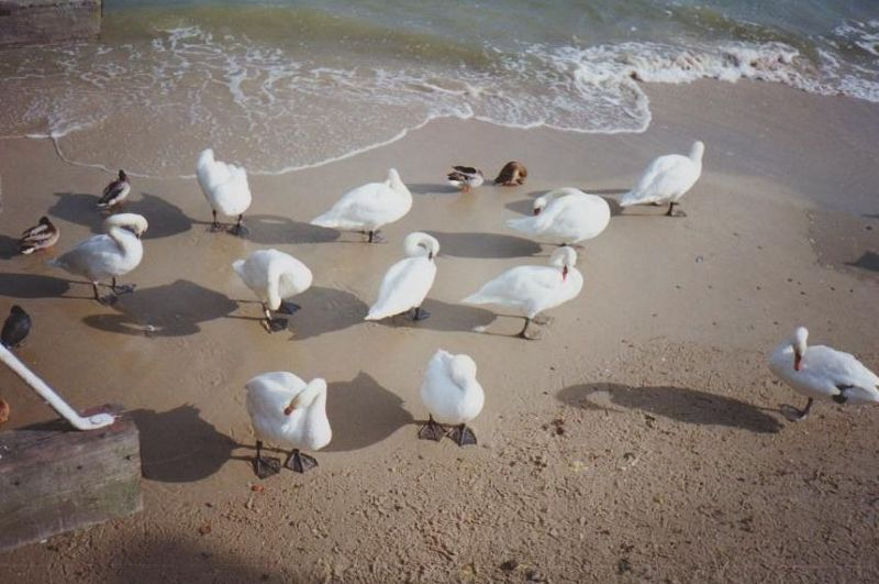 Swans on the beach at Sopot. - Poland