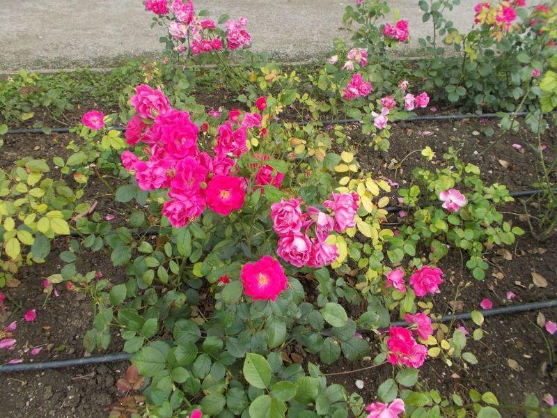 large_7138759-Roses_at_the_Botanic_Gardens_Zagreb.jpg