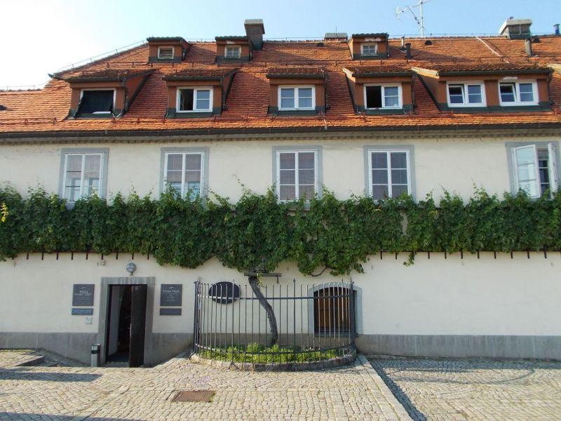 The Old Vine - Maribor