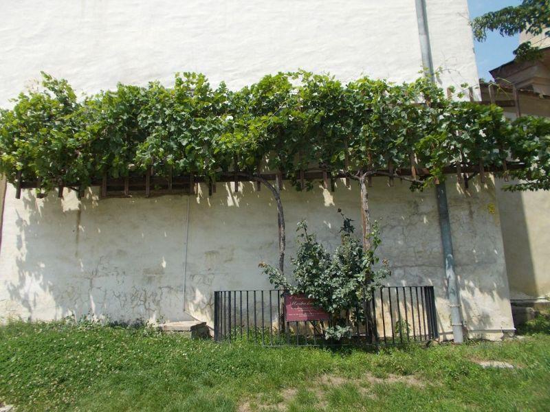 The Old Vine. - Ptuj