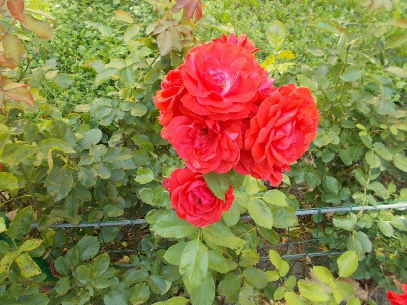 Roses - Ptuj