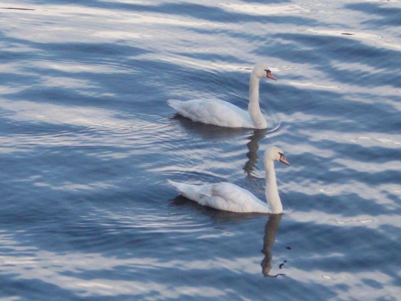 Swans on the Ilz - Passau